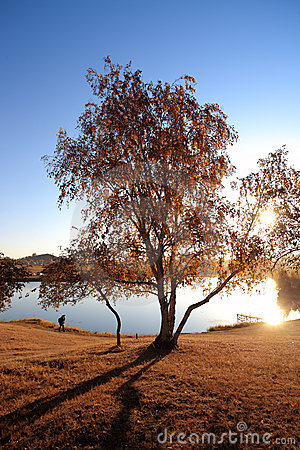 Birch tree in lakeside at autumn