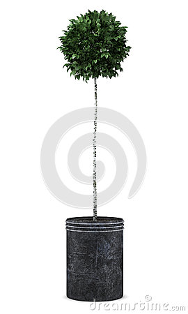 Birch tree in pot isolated on white