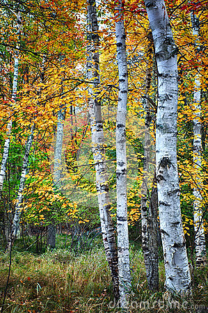 Birch trees in Autumn season