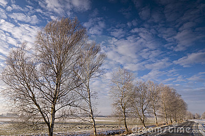 Birch trees lining road