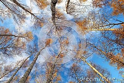 Birch trees. Low angle.