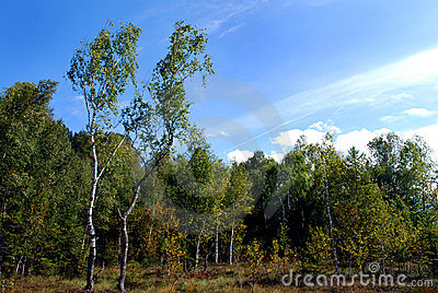 Birch trees and moor