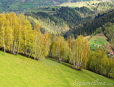 Birch Trees on a mountainside