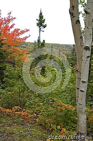 Free Birch Trees, Nova Scotia Royalty Free Stock Images - 2242069