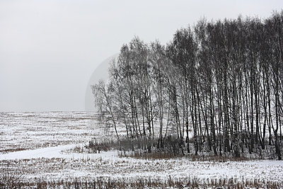 Birch trees on an overcast day