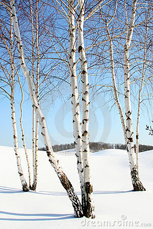 Birch trees in the winter stock photo image 2170700