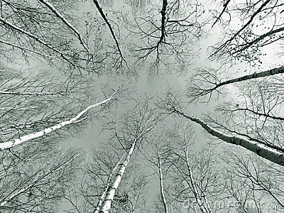 Birch trees in wood