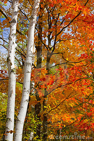 Birch Trunks and October Maple