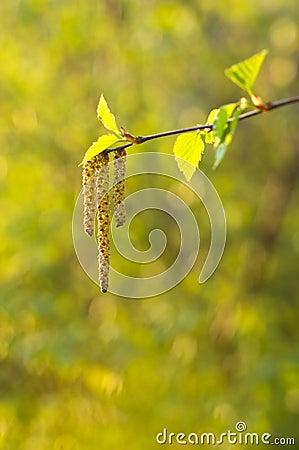 Birch twig with aments