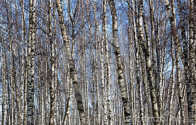 Birch in winter season