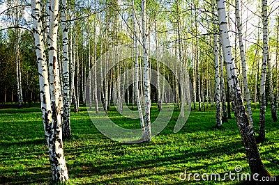 Birch wood in Russia