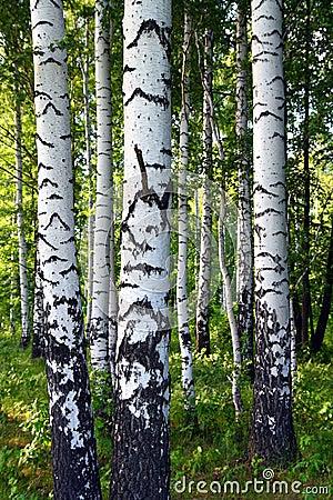 Free Birch Woods Royalty Free Stock Photo - 5650815
