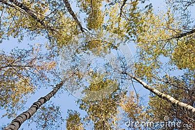 Birchen forest