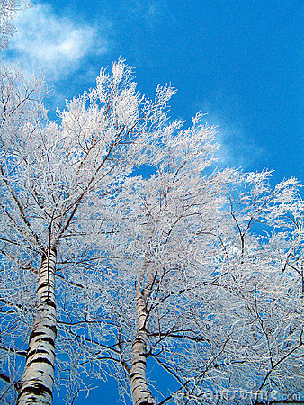 Free Birches In Winter Royalty Free Stock Photos - 44088