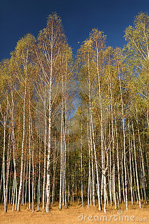 Birches and moon