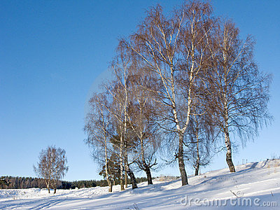 Birches in ravine on sunny winter day