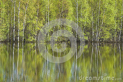 Birches reflected in water