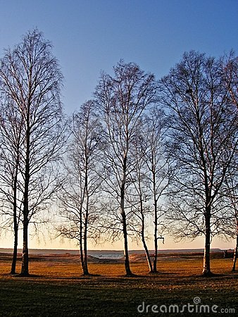 Birches during sunset