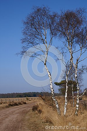 Birchtrees on a dutch moor