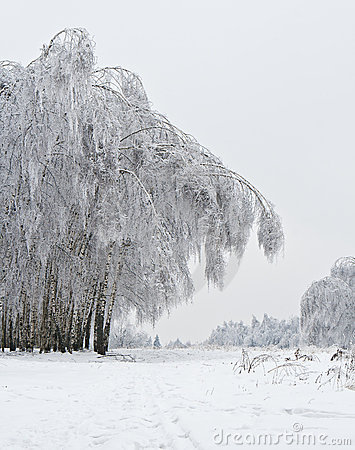 Free Birchwood After A Sleet Stock Images - 18038834