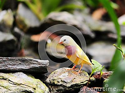 Bird: Adult Female Gouldian Finch