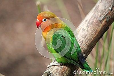 Bird agapornis-fischeri