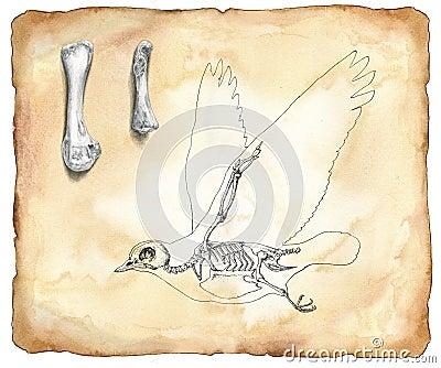 Bird anatomy - watercolor