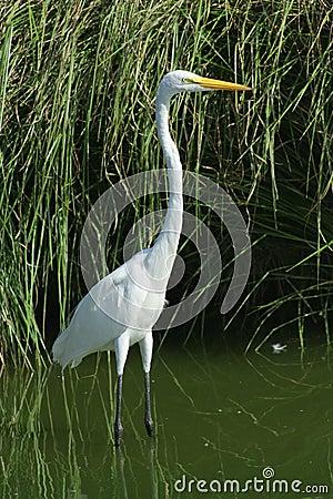 Bird aquatic