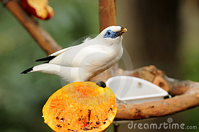 Bird --- Bali Mynah