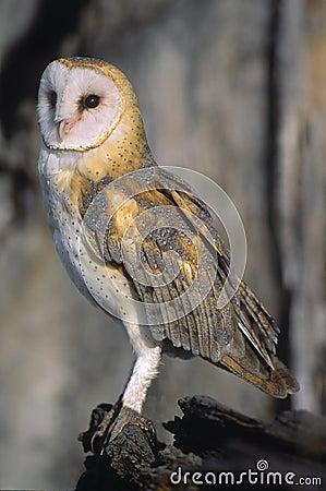 Free Bird-Barn Owl Stock Images - 5533894
