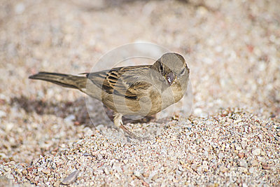 Bird on the beach (sparrow)