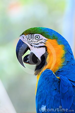 Bird, blue-and-gold macaw