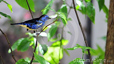 Bird, Blue and Yellow Finch