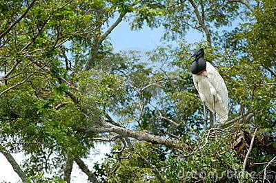 Bird in Bolivia Pampas - Amazon River