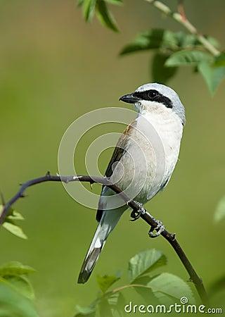 Bird on a branch Shrike