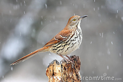 Bird - Brown Thrasher in Snow
