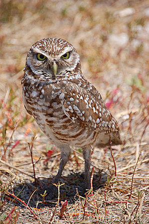 Bird - Burrowing Owl