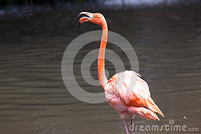 Bird: A Caribbean Flamingo