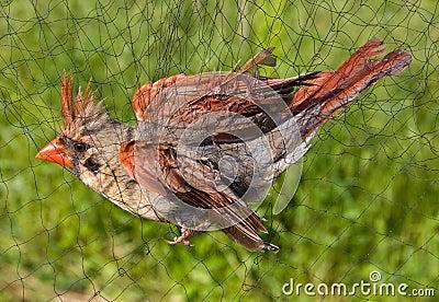 Bird Caught in Net