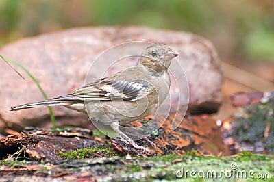 Bird   chaffinch