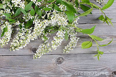 Bird cherry branch on wooden surface