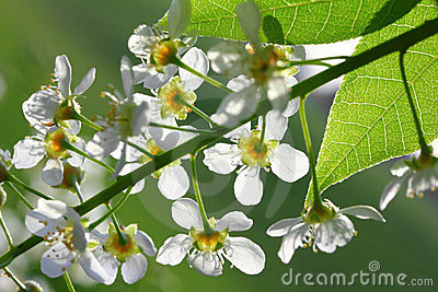 Bird cherry tree flowers macro
