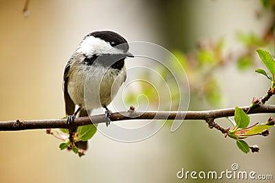 Bird - Chickadee