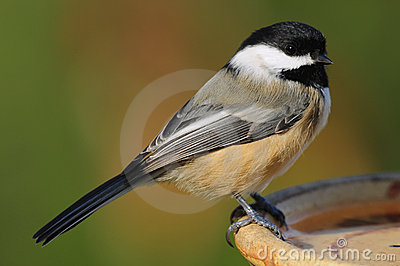 Bird Chickadee perched at a water dish