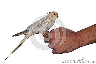 Bird cockatiel pet cinnamon pearl mutation