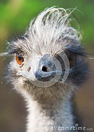 Free Bird Emu Royalty Free Stock Photos - 2304428