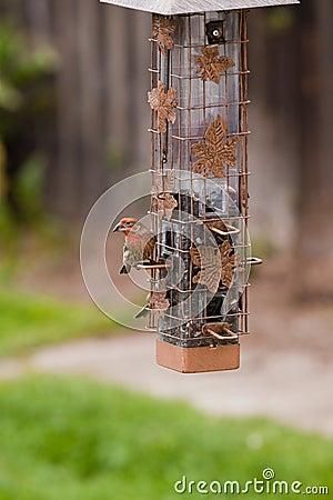 Free Bird Feeder And House Finch Bird Stock Image - 14083541