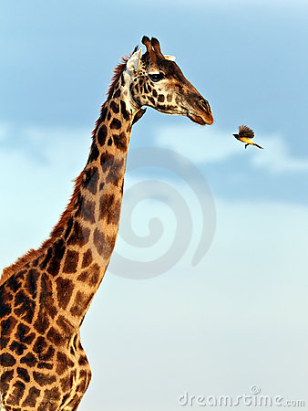 Bird flies to muzzle giraffe