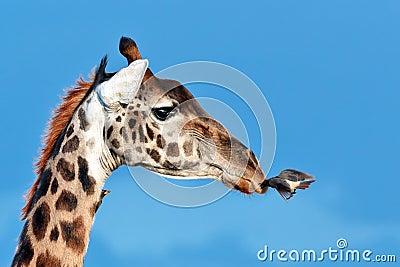 Bird flies to muzzle giraffe