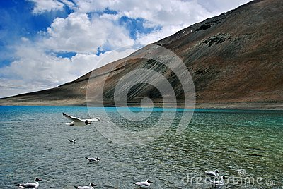 Bird flying in Pangong Lake